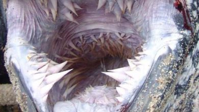 Photo of A kérgesteknős különleges fűrész-szerű fogsora