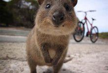 Photo of A kurtafarkú kenguru – egy vidám erszényes