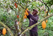 Photo of Életükben először kóstolnak csokoládét az elefántcsontparti kakaóbab termelők
