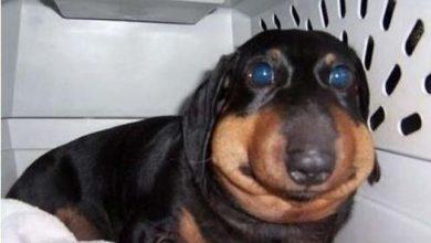 Photo of Pórul járt kutyák, akik méhcsípés áldozatai lettek
