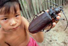 Photo of Az óriáscincér – a világ leghosszabb testű bogárfaja