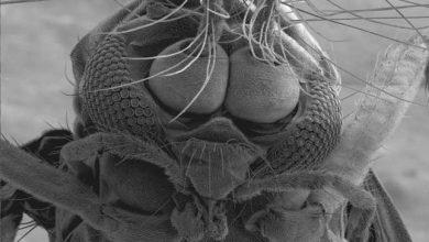 Photo of Elektronmikroszkópos képek egy szúnyogról