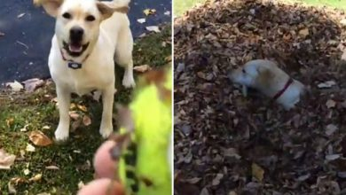Photo of Egy labdaőrült labrador, aki imád az avarba ugrálni [Videó]