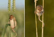 Photo of Aranyos egerek a vadonból