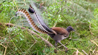 Photo of A láncfűrész, a riasztó és más állatok hangját is képesek utánozni a bámulatos lantfarkú madarak