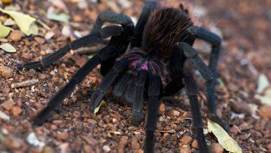 Photo of Tarantula pók vedlése egy rendkívüli videón