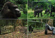 Photo of Így reagálnak a vadállatok a tükörképükre