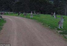 Photo of Kíváncsi kenguru sorfal várt egy ausztrál biciklist