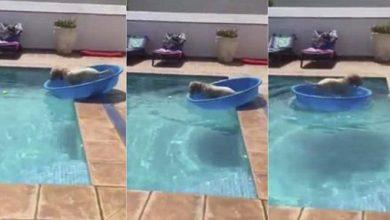 Photo of Becsónakázott a medencébe esett labdájáért a trükkös kutya