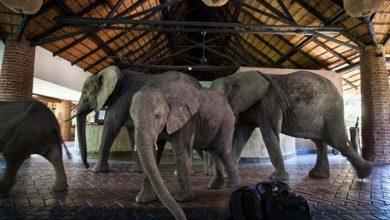 Photo of Elefántok vonulnak végig a szálloda recepcióján, hogy a mangófákról lakmározzanak