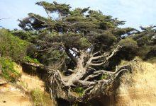 Photo of Az élet fája – az életéért küzdő fa, amelyet csak néhány gyökere tart