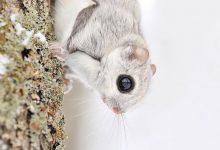 Photo of A legaranyosabb vadon élő állat, a japán repülő mókus
