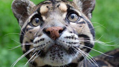 Photo of 21 gyönyörű és ritka macskaféle, amit kevesen ismernek