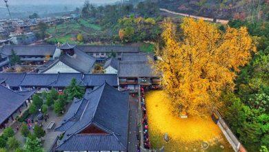 Photo of Aranyszínű levéltengerrel borítja be a buddhista templom udvarát az 1400 éves páfrányfenyő