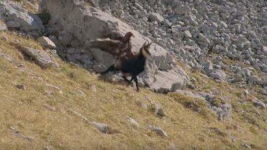Photo of Egy zergére csapott le a szirti sas – videó