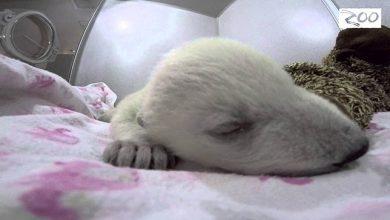 Photo of Aranyos videó egy álmodó és viccesen horkoló apró jegesmedvebocsról