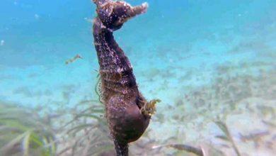 Photo of Ritka felvétel – így hozza világra utódait egy hím csikóhal