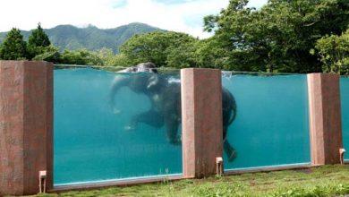 Photo of Üvegfalú medencében úszkálnak az elefántok egy japán állatkertben