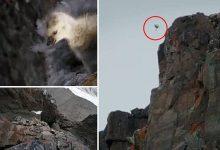 Photo of Hihetetlen videó – apácalúd fiókák 120 méteres zuhanása a sziklapárkányról