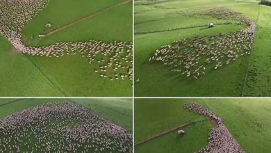 Photo of Lenyűgöző videó – így fest egy birkanyáj terelése a magasból