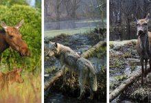 Photo of Ritka állatfajok népesítik be Csernobil térségét