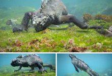 Photo of Találkozás a különleges tengeri leguánokkal – lenyűgöző felvételek