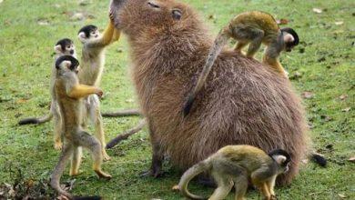 Photo of Minden állat szívesen barátkozik a világ legnagyobb rágcsálójával