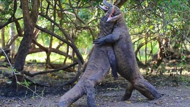 Photo of Így küzdenek meg egymással a komodói sárkányok