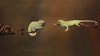 Photo of Ezek az aprócska kaméleonok bebizonyítják, hogy a hüllők is lehetnek aranyosak
