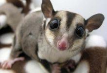 Photo of A cukormókus – egy igazán aranyos és különleges kis erszényes