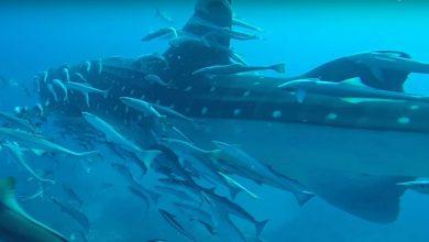 Photo of Találkozás egy békés tengeri óriással – hatalmas cetcápa lepte meg a búvárokat