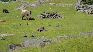 Photo of Anyjához rohant vigasztalódni a madarak kergetése közben eleső kiselefánt