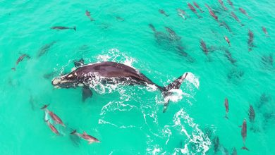 Photo of Delfinekkel játszó bálnát örökítettek meg Ausztráliában – csodálatos drónvideó