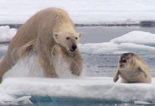Photo of Elképesztő vadászatot örökítettek meg – így ejti el a gyanútlan fókát az éhes jegesmedve
