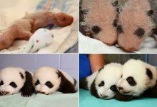 Photo of Így cseperednek fel a pandabocsok
