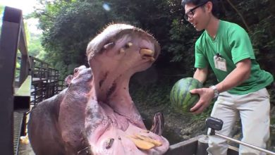 Photo of Egy harapással eltüntetik a görögdinnyét a csemegéző vízilovak