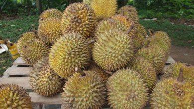 Photo of Megfejtették a világ legbüdösebb gyümölcsének titkát