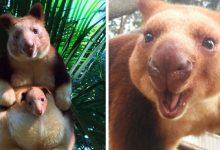 Photo of Mosolyt csaló fotóválogatás enged bepillantást a veszélyeztetett fakúszó kenguruk életébe