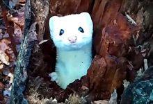 Photo of Kíváncsian figyelte a túrázót a fa odvából kukucskáló hófehér hermelin
