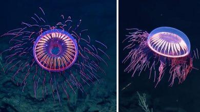 Photo of Mélytengeri tűzijáték – lenyűgöző medúzát örökítettek meg a tengerkutatók