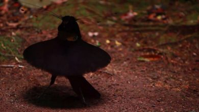 Photo of A táncoslábú paradicsommadár tollazatán látható az állatvilág legmélyebb fekete színe