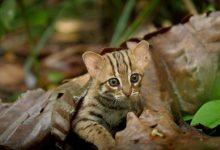 Photo of A világ legkisebb vadon élő macskaféléje