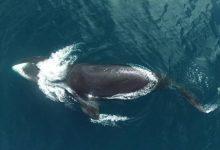 Photo of A grönlandi bálna zenei repertoárja egyedülálló a cetek világában