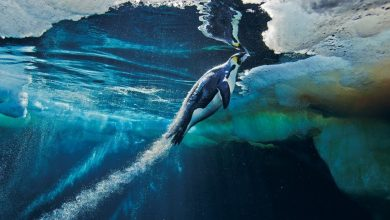 Photo of A világ leghosszabb pingvinmerülését dokumentálták a Déli-sarkvidéken