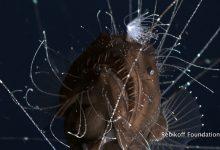 Photo of Soha nem látott felvételt készítettek a világ egyik legkülönösebb mélytengeri élőlényéről