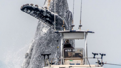 Photo of Hatalmas bálna emelkedett ki a vízből egy gyanútlan horgász hajója mellett