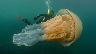 Photo of Gigantikus medúzát fedeztek fel búvárok az angol partoknál