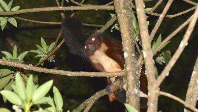 Photo of A repülő mókusok eddig ismeretlen faját fedezték fel egy kínai hegyvidéken