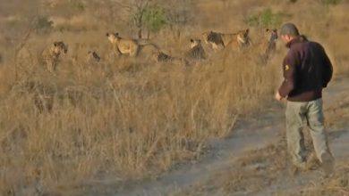 Photo of Váratlanul futott bele egy falka oroszlánba egy szafarivezető – videó