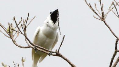 Photo of A világ leghangosabb madara